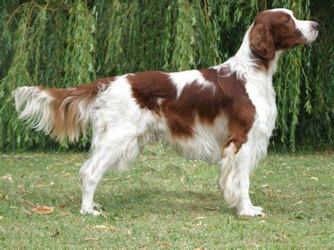 and white setter puppies and white setter history personality appearance health and pictures
