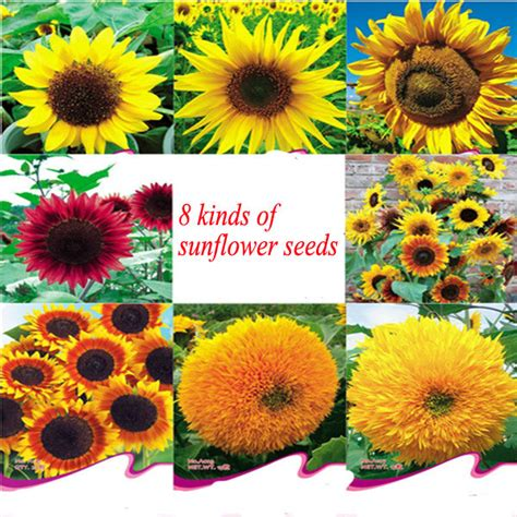 pink sunflower on white filled garden flower pink sunflower seeds for growing buy pink