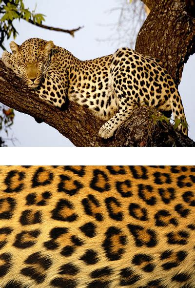 Whats The Difference Between A Jaguar And A Panther Whats The Difference Between Leopard Jaguar And Cheetah