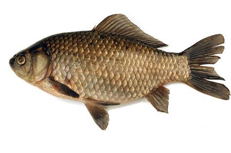 imagenes animales con escamas image gallery pescado