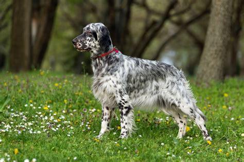 setter dog breed info english setter dog breed information buying advice