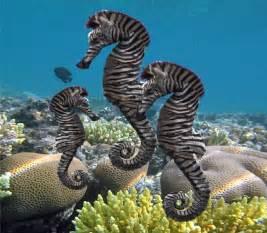 zebra seahorse the wonderful zebra of the sea all five