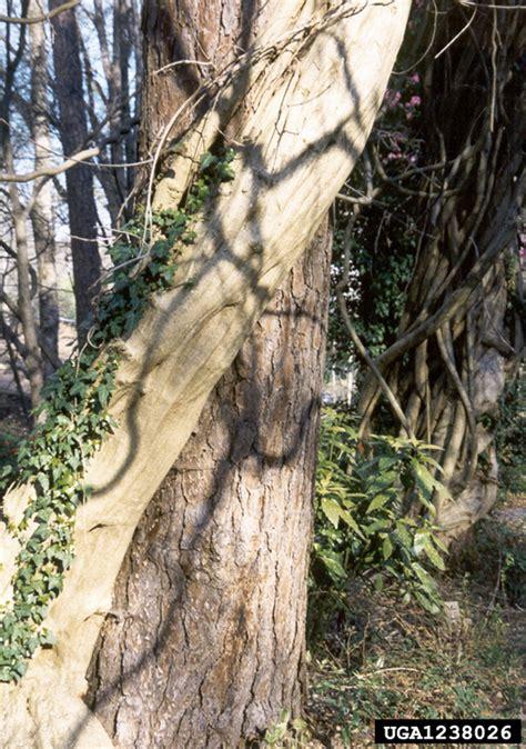 japanese wisteria wisteria floribunda on pine pinus