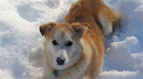 golden retriever husky mix for sale in pa husky golden retriever mix breeds picture