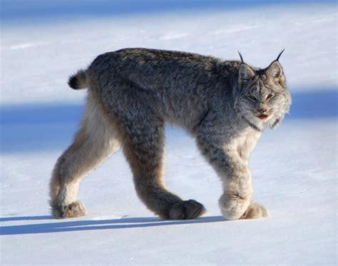 Canadian Snow Lynx | rare lynx sighting pics