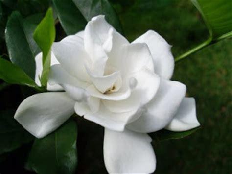 mengenal bunga melati jepang