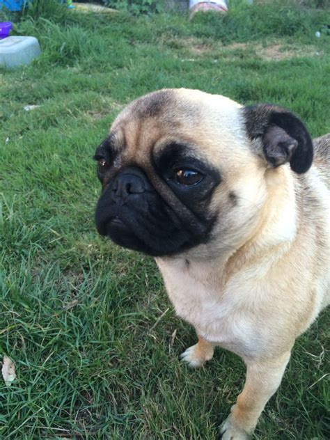 1 year pug for sale 2 year pug for sale havant hshire pets4homes