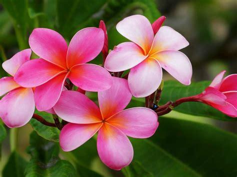 plumeria hawaiian flowers flowers  reddish pink  white  yellow orange color hd