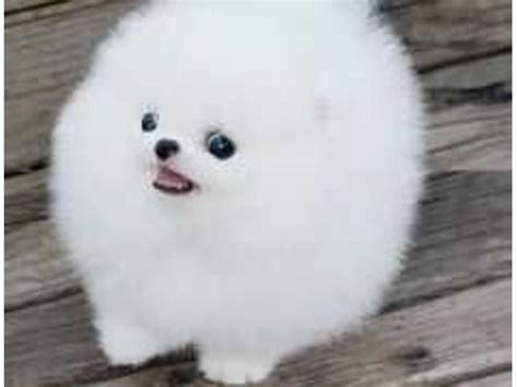 adopt a pomeranian for free 25 best ideas about teacup pomeranian on teacup pomeranian puppy