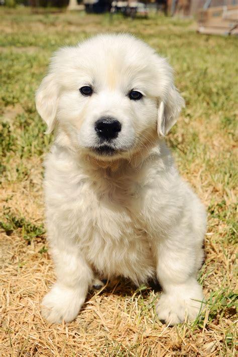 largest golden retriever golden retriever puppies chadwick s goldens