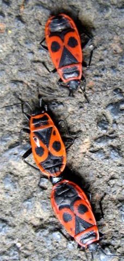Kakerlaken Im Garten 4183 by Wer Kann Diese Zwei K 228 Fer Bestimmen Haus Insekten