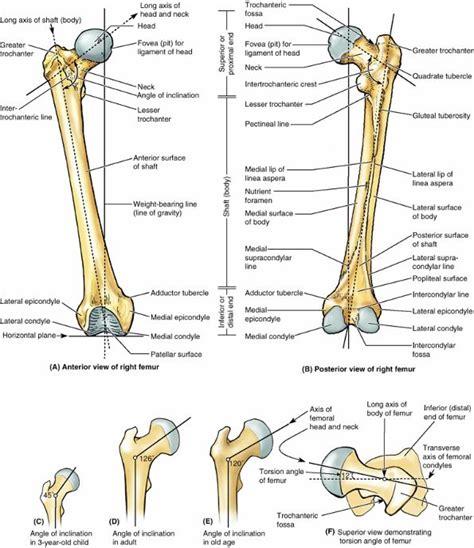 femur diagram labeled human anatomy femur anatomy labeling quiz femur anatomy
