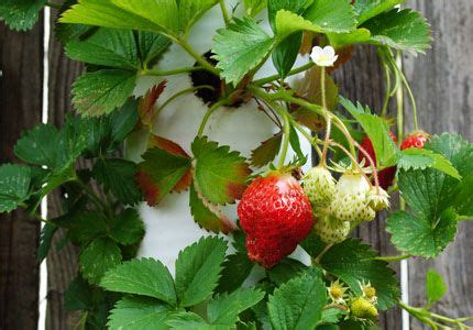 Using A Pvc Pipe For Strawberries Gardens Pinterest Pvc Strawberry Planter
