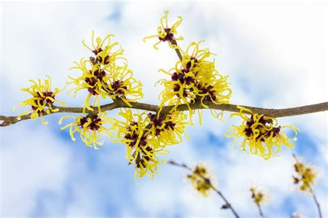 landscape spotlight witch hazel hamamelis virginiana
