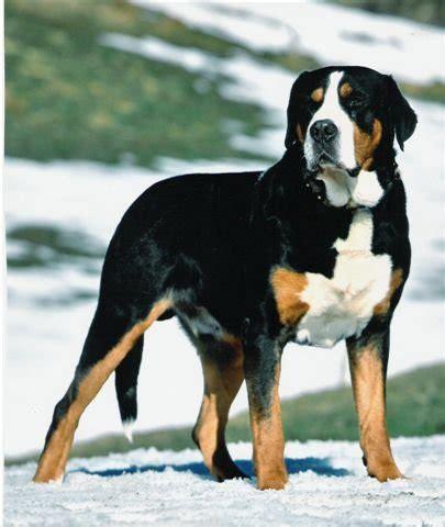 greater swiss mountain temperament names rescue adoption