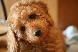 labradoodles puppies for sale sydney australian labradoodle puppies available labradoodle puppy