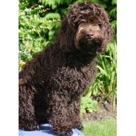 goldendoodle puppies for sale scotland glendream doodles in newburgh fife