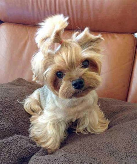 baby dogs yorkie baby yorkie baby puppies for sissy