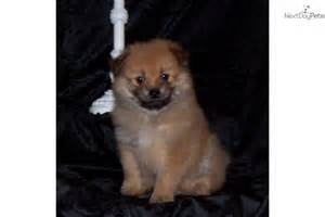 meet yoranian a pomeranian puppy for sale for 375