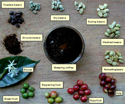 Kopi Arabika Gayo Original coffee luwak civet coffee origin kopi luwak from