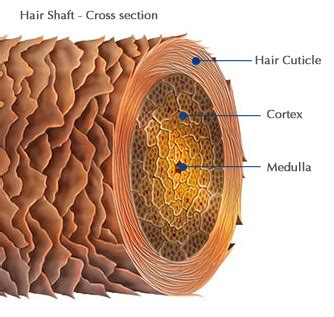cross section of hair follicle how porous is your hair aunt lucy s folk sense