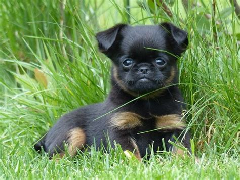 pug and mix 453 best pug mixed breeds images on pug mixed breeds adorable animals and
