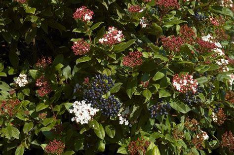 viburnum tinus vaso viburnum tinus piante da giardino caratteristiche