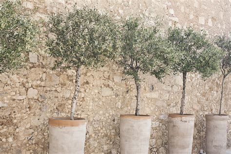 trees in a pot how to grow an olive tree in a container green prophet