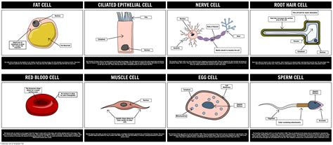 key idea 13 following fertilization cells divide and become