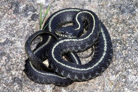 Garter Snake Oregon by Oregon Gartersnake Scorpion