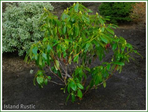 how much water in gallons for rhododendron helpfulgardener com
