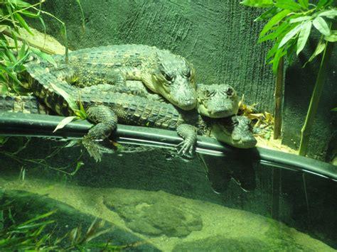 reptile house reptile house baby siamese crocodiles 187 detroit zoo gallery