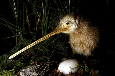 habitat   features  kiwis  zealands native bird