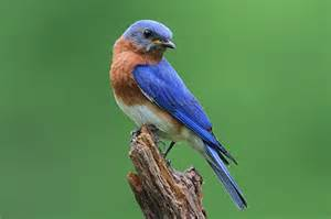 eastern bluebird facts information and photos