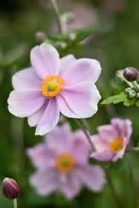 Uk Garden Flowers Garden Flowers Dainty Japanese Anemones Cox Garden Designs