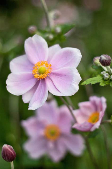 flowers uk garden flowers dainty japanese anemones cox
