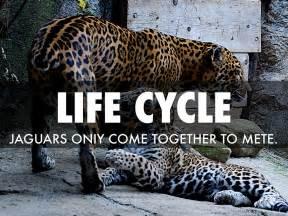 rainforest jaguar facts rainforest jaguar facts leopard nature pbs big
