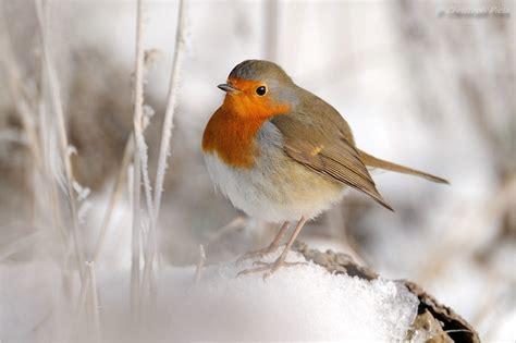 Rotkehlchen Im Winter 4661 by Rotkehlchen Forum F 252 R Naturfotografen