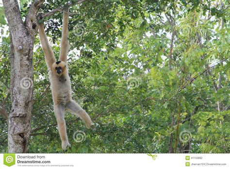 monkeys swinging in a tree female monkey hanging out stock photo image of green