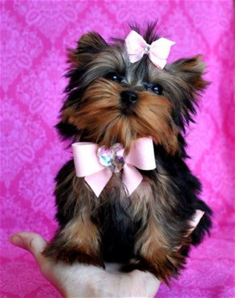 yorkie breeders san antonio micro teacup yorkie puppies for in san antonio tx pets for sale locopost