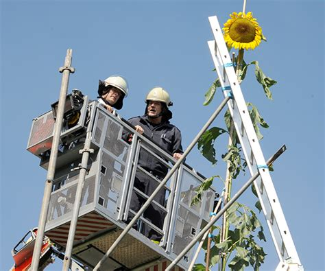 reach for the sky tallest sunflower record falls again