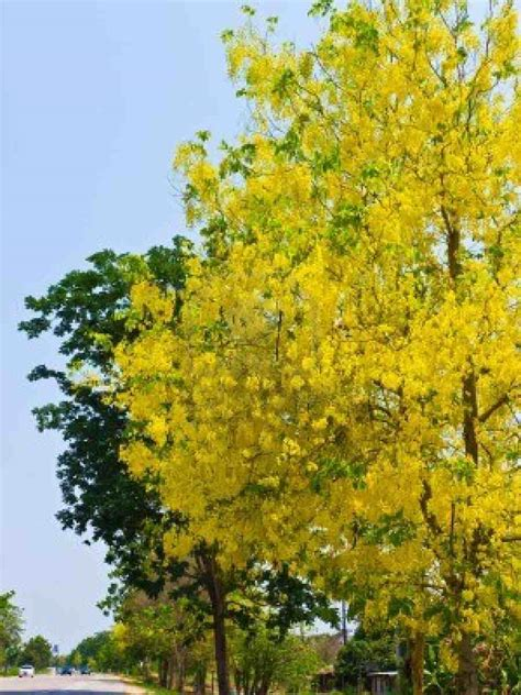 What Is The Golden Shower by Trees Planet Cassia Fistula Golden Shower Tree