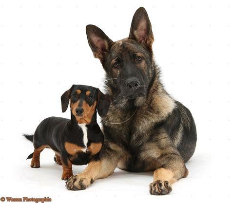 german shepherd dachshund mix puppies german shepherds