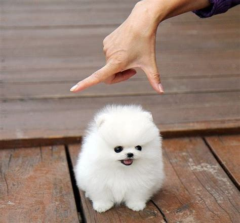 snowball pomeranian snowball white pomeranian and age 3 on