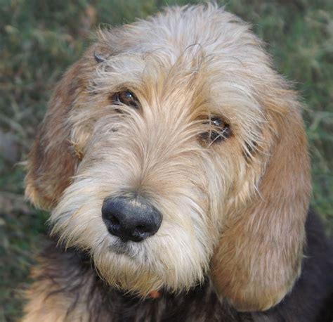 otterhound puppies otterhound photo and wallpaper beautiful otterhound pictures
