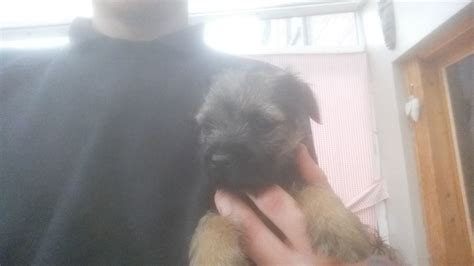 border terrier puppies for sale near me border terrier puppies for sale in breeds picture