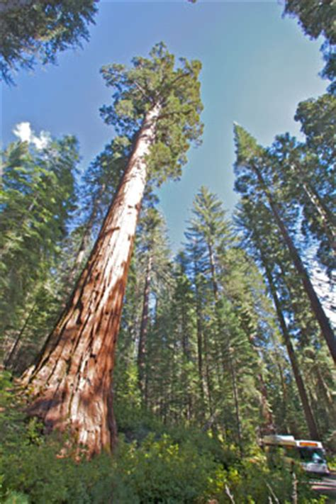 mariposa grove restoration yosemite national park
