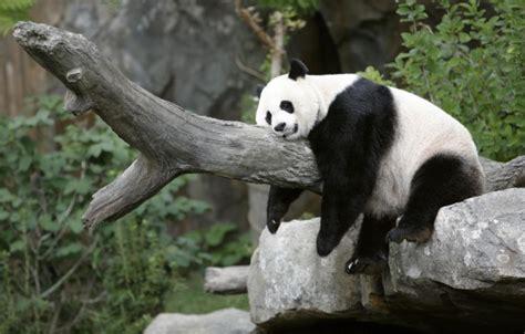 wallpaper black and white panda colors images cute black and white panda wallpaper and