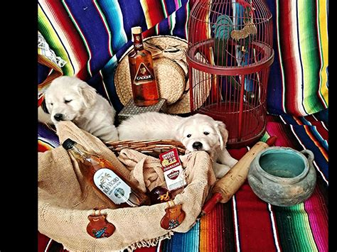 permanent puppy golden retriever golden retrievers sd breeders san diego ca