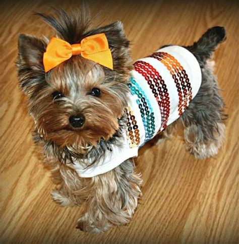 can yorkies eat cheese 17 best images about yorkies on terrier terrier